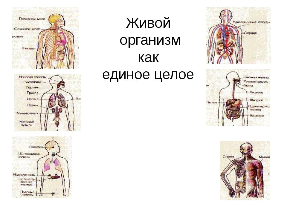 Организм как единое целое картинка