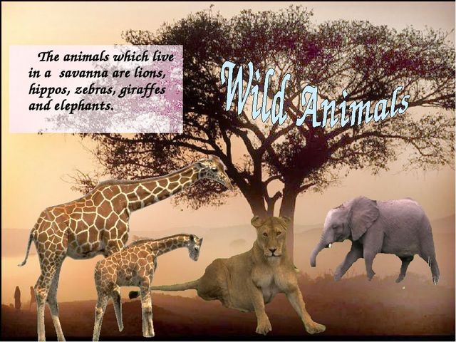 The animals which live in a savanna are lions, hippos, zebras, giraffes and...