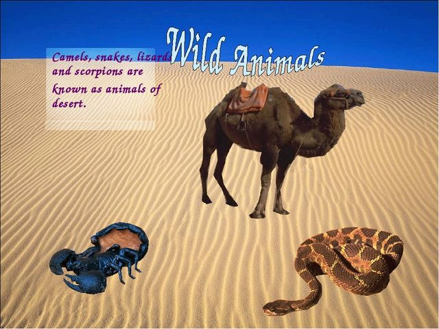 Camels, snakes, lizards and scorpions are known as animals of desert.