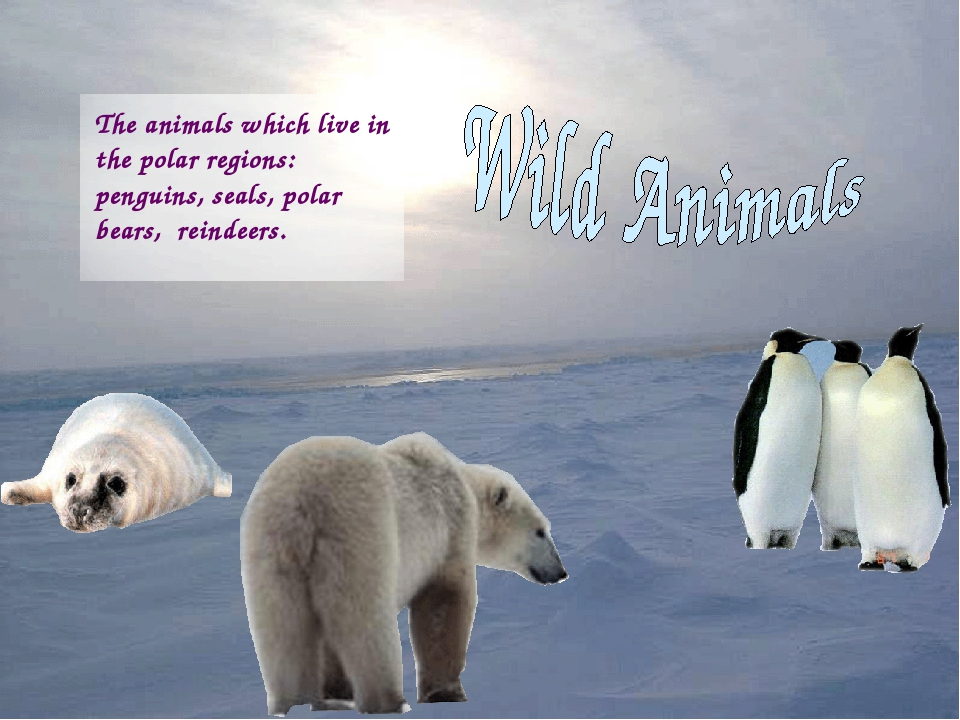 The animals which live in the polar regions: penguins, seals, polar bears, re...