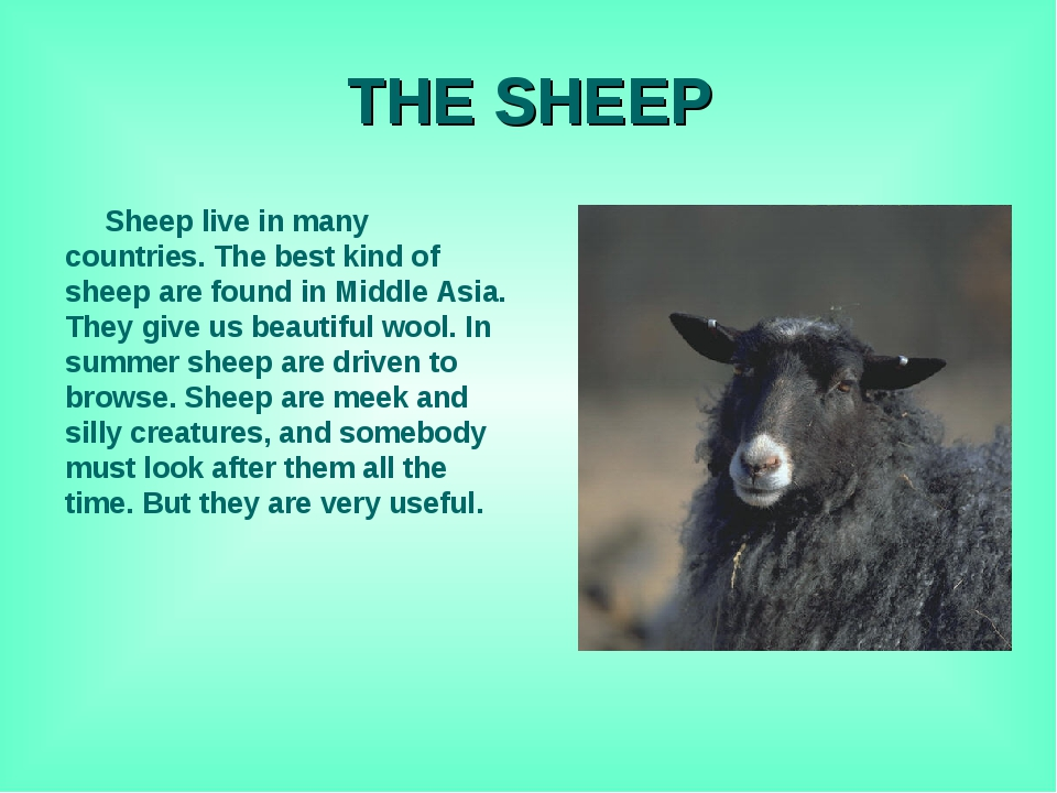 THE SHEEP Sheep live in many countries. The best kind of sheep are found in M...