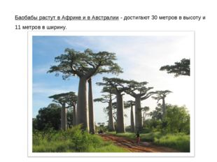 Баобабы растут в Африке и в Австралии - достигают 30 метров в высоту и 11 мет