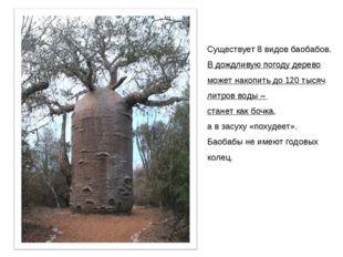 Существует 8 видов баобабов. В дождливую погоду дерево может накопить до 120