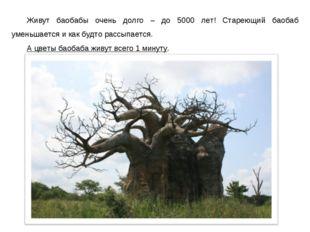 Живут баобабы очень долго – до 5000 лет! Стареющий баобаб уменьшается и как б