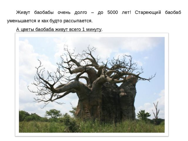 Живут баобабы очень долго – до 5000 лет! Стареющий баобаб уменьшается и как б...
