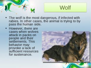 Wolf The wolf is the most dangerous, if infected with rabies. In other cases,