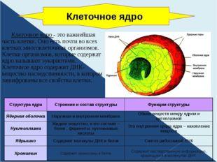 Клеточное ядро - это важнейшая часть клетки. Оно есть почти во всех клетках