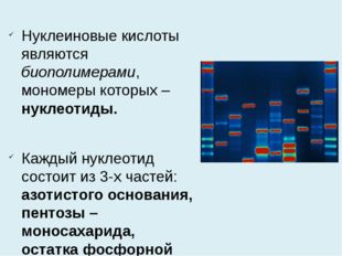 Нуклеиновые кислоты являются биополимерами, мономеры которых – нуклеотиды. Ка