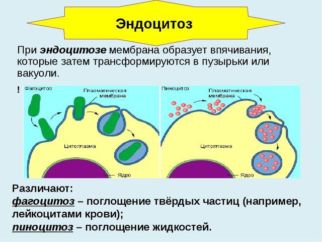 При эндоцитозе мембрана образует впячивания, которые затем трансформируются в...