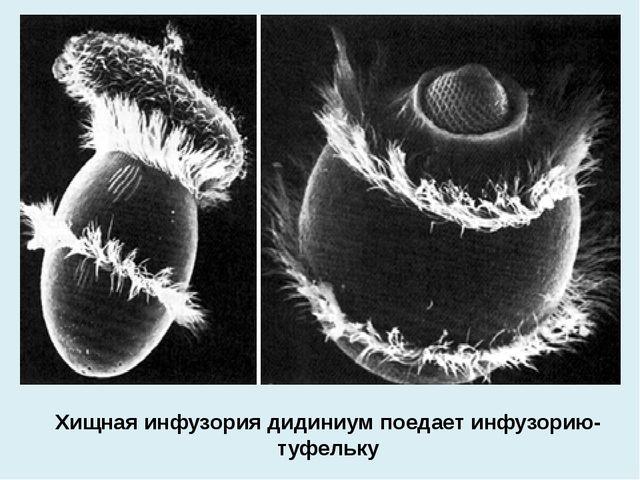 Хищная инфузория дидиниум поедает инфузорию-туфельку
