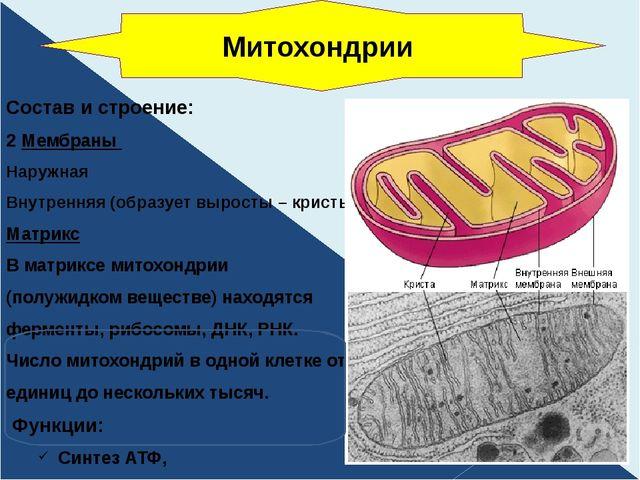 Состав и строение: 2 Мембраны Наружная Внутренняя (образует выросты – кристы)...