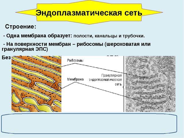 Строение: - Одна мембрана образует: полости, канальцы и трубочки. - На повер...