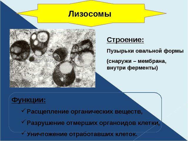 Строение: Пузырьки овальной формы (снаружи – мембрана, внутри ферменты) Функц...
