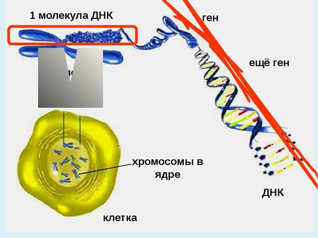 клетка хромосомы в ядре ДНК хромосома 1 молекула ДНК ген ещё ген