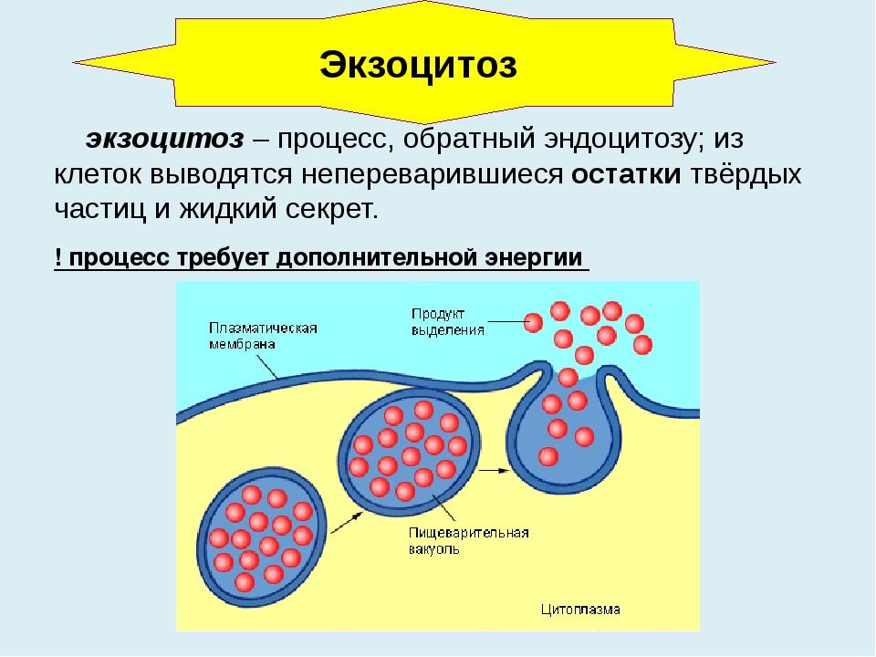 экзоцитоз – процесс, обратный эндоцитозу; из клеток выводятся непереварившие...