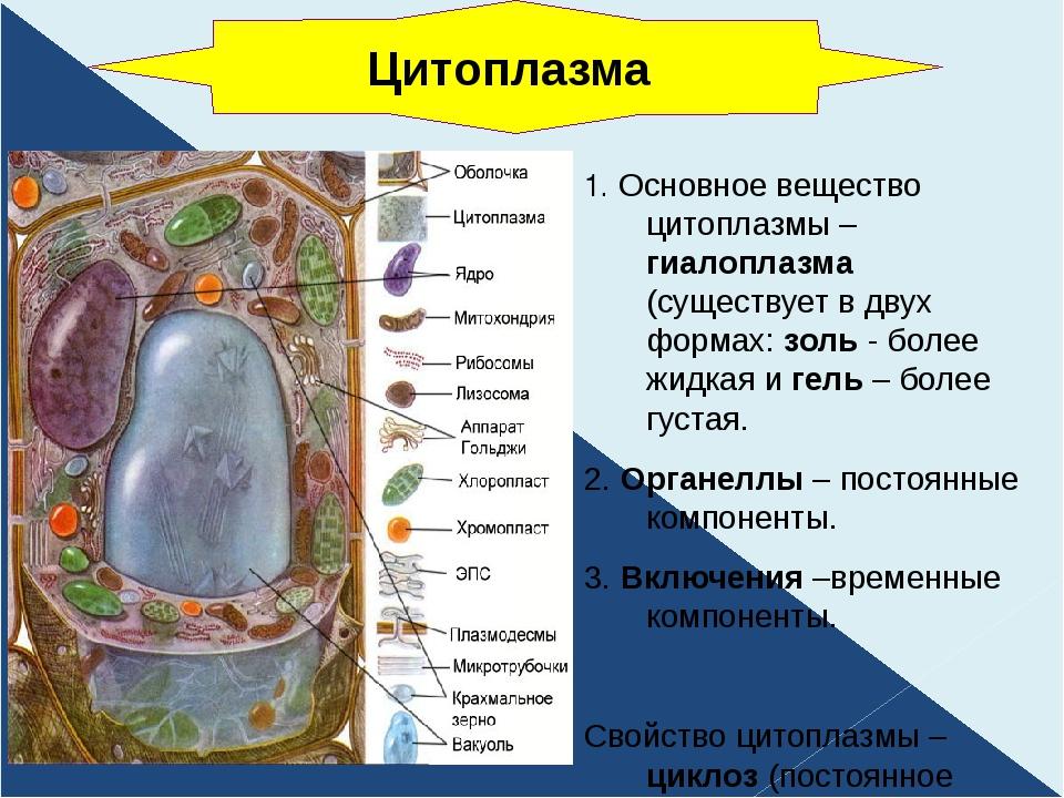 1. Основное вещество цитоплазмы – гиалоплазма (существует в двух формах: золь...