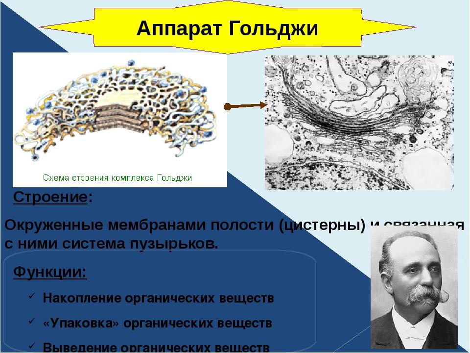 Строение: Окруженные мембранами полости (цистерны) и связанная с ними систем...