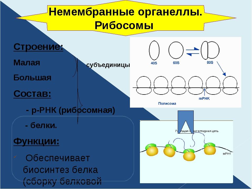 Строение: Малая Большая Состав: - р-РНК (рибосомная) - белки. Функции: Обеспе...