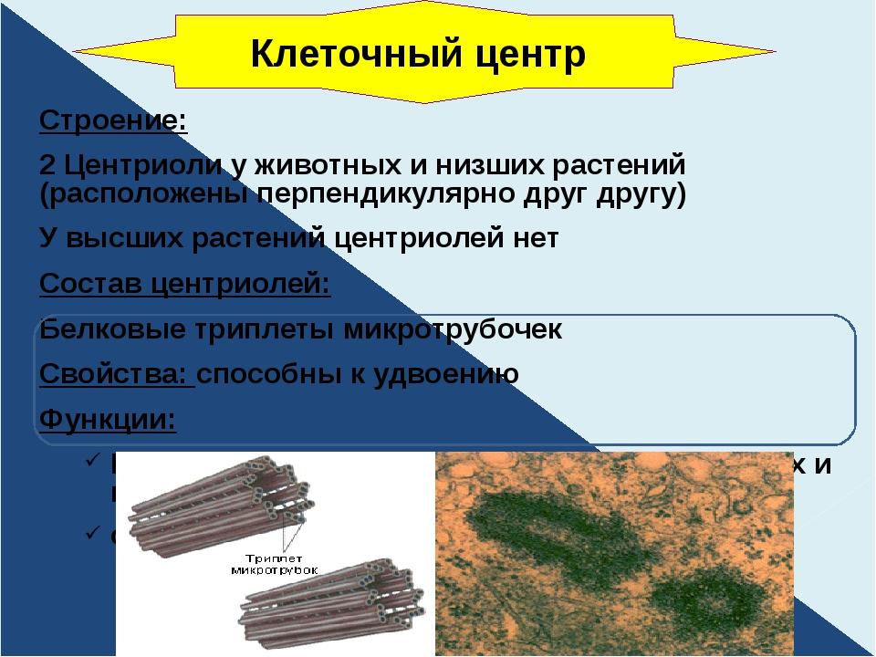 Строение: 2 Центриоли у животных и низших растений (расположены перпендикуляр...