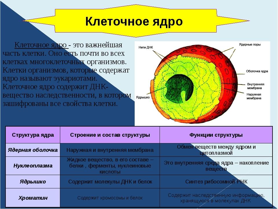 Клеточное ядро - это важнейшая часть клетки. Оно есть почти во всех клетках...