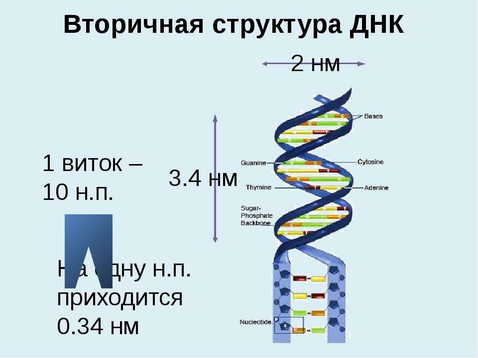 1 виток – 10 н.п. На одну н.п. приходится 0.34 нм Вторичная структура ДНК 2 н...