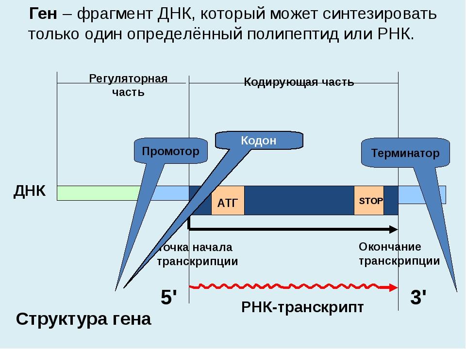 Ген – фрагмент ДНК, который может синтезировать только один определённый пол...