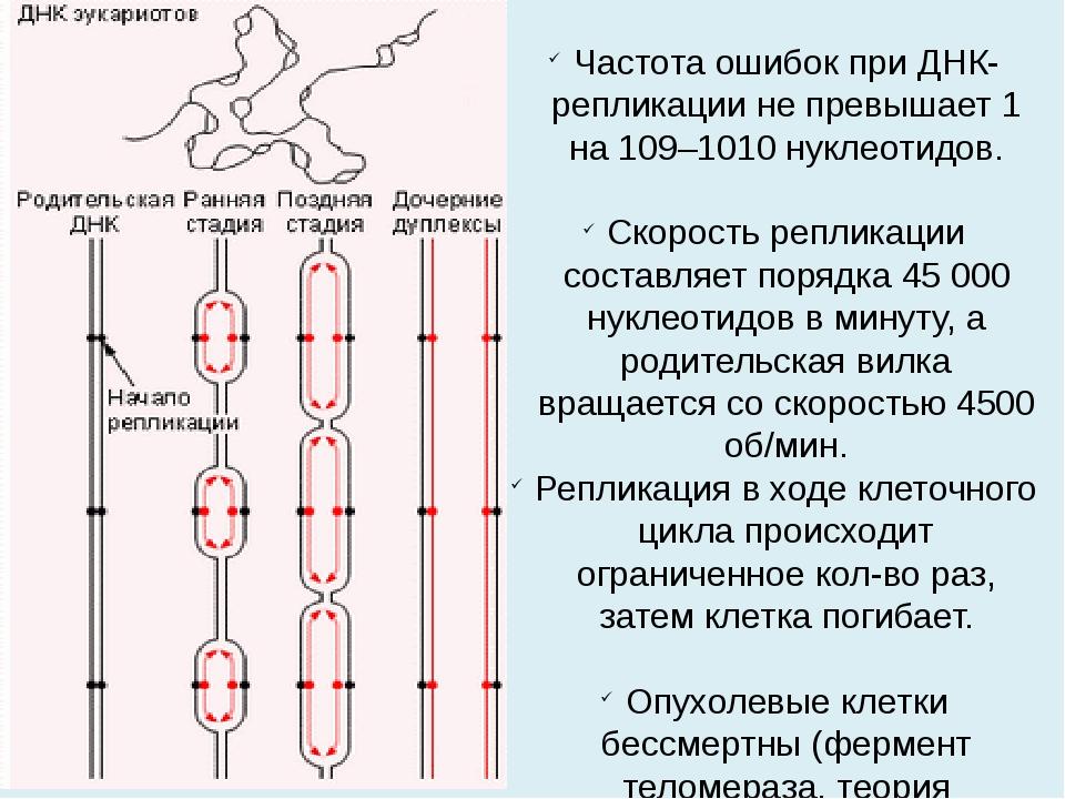 Частота ошибок при ДНК-репликации не превышает 1 на 109–1010 нуклеотидов. Ско...