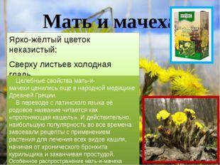 Мать и мачеха Ярко-жёлтый цветок неказистый: Сверху листьев холодная гладь, С