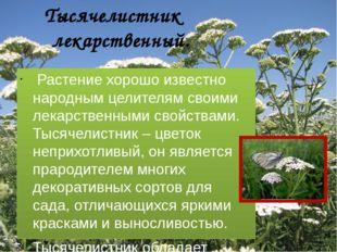 Тысячелистник лекарственный. Растение хорошо известно народным целителям сво