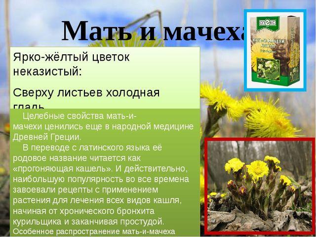 Мать и мачеха Ярко-жёлтый цветок неказистый: Сверху листьев холодная гладь, С...