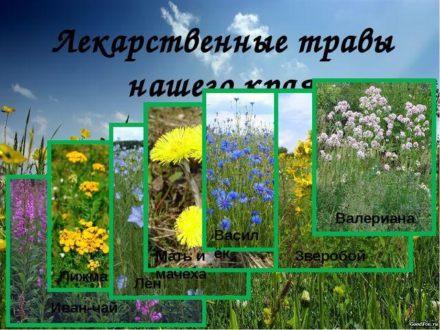 Лекарственные травы нашего края Валериана Зверобой Василёк Мать и мачеха Лён...