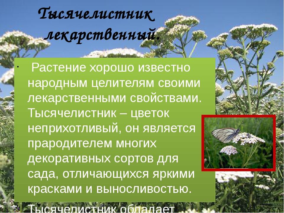 Тысячелистник лекарственный. Растение хорошо известно народным целителям сво...