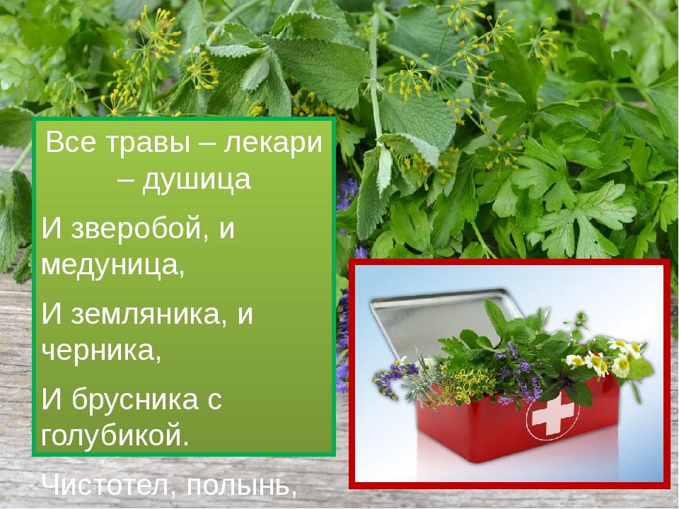 Все травы – лекари – душица И зверобой, и медуница, И земляника, и черника,...
