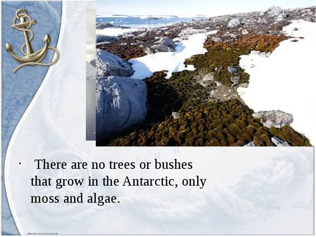 There are no trees or bushes that grow in the Antarctic, only moss and algae.