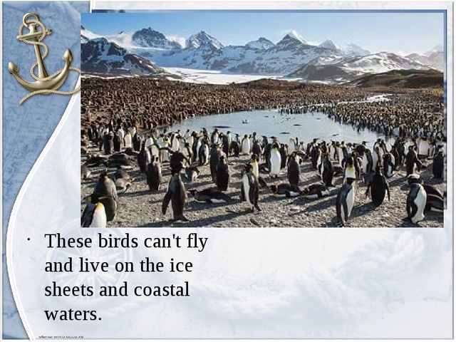 These birds can't fly and live on the ice sheets and coastal waters.