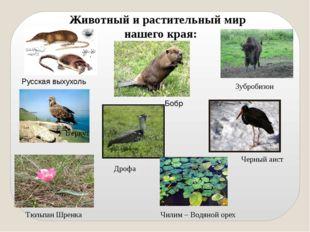 Животный и растительный мир нашего края: Русская выхухоль Бобр Зубробизон Бер