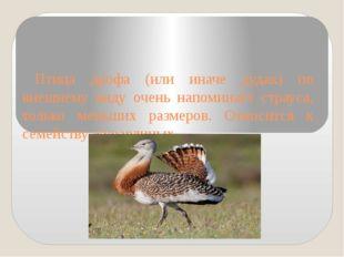 Птица дрофа (или иначе дудак) по внешнему виду очень напоминает страуса, толь