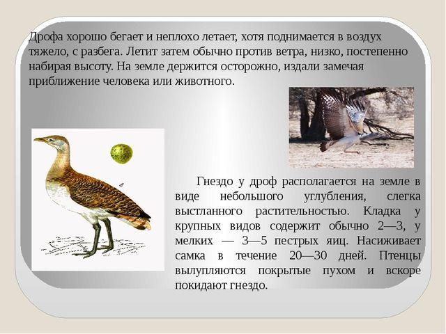 Дрофа хорошо бегает и неплохо летает, хотя поднимается в воздух тяжело, с ра...
