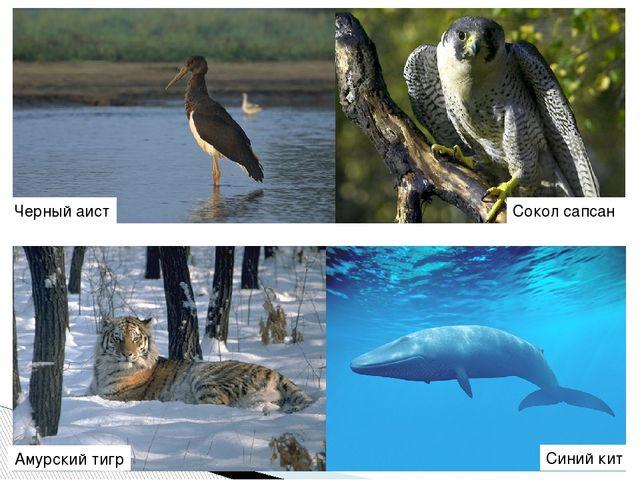 Черный аист Сокол сапсан Амурский тигр Синий кит