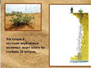 Растущая в пустыневерблюжья колючка ищет влагу на глубине 20 метров.