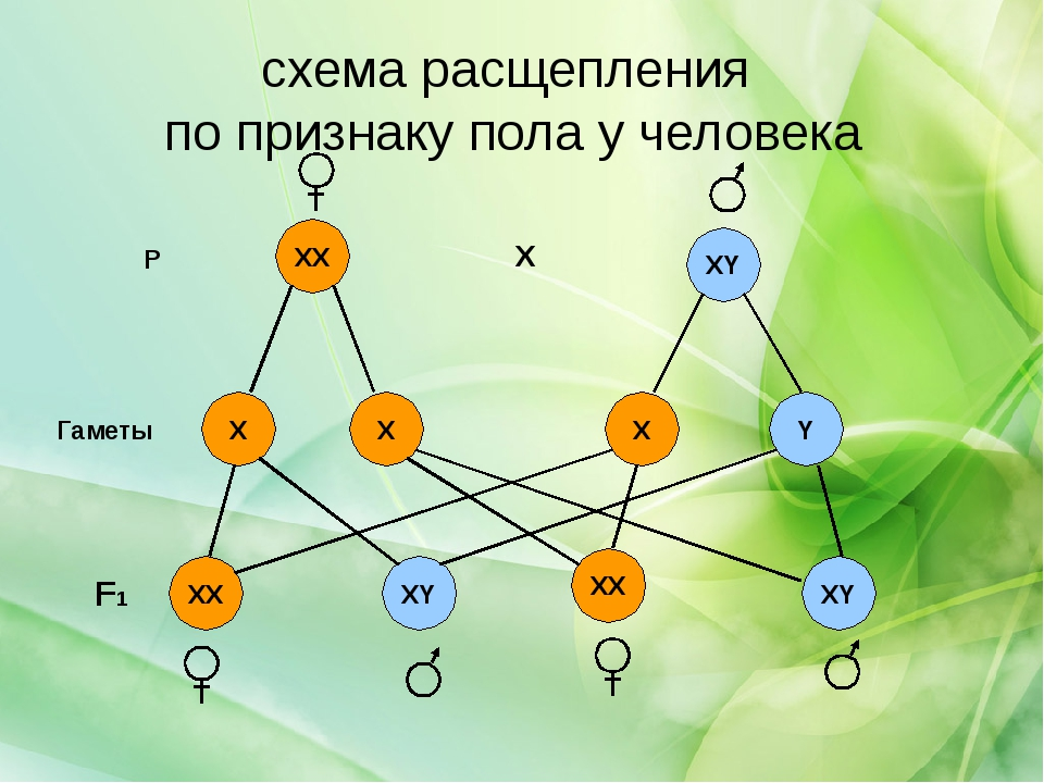 схема расщепления по признаку пола у человека XY XY Y XY ХХ X X XX XX X X P F...
