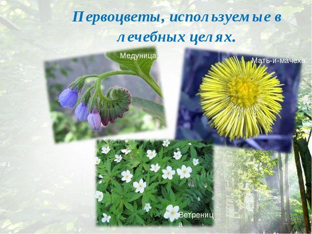 Первоцветы, используемые в лечебных целях. Медуница. Мать-и-мачеха. Ветреница
