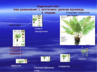 Модельный ответ: план размножения: 1. вегетативно -деление корневища 2. спора