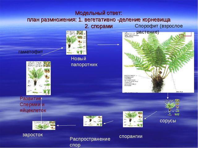 Модельный ответ: план размножения: 1. вегетативно -деление корневища 2. спора...