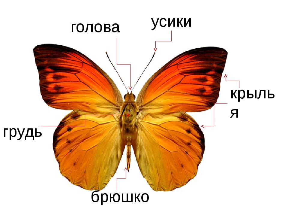 голова крылья усики брюшко грудь