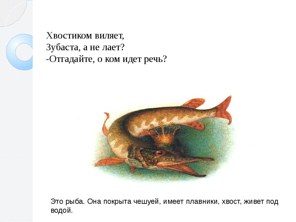 Хвостиком виляет, Зубаста, а не лает? -Отгадайте, о ком идет речь? Это рыба....