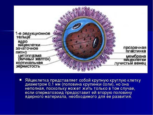 Яйцеклетка представляет собой крупную круглую клетку диаметром 0,1 мм (полови...