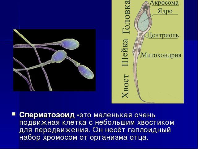 Сперматозоид -это маленькая очень подвижная клетка с небольшим хвостиком для...