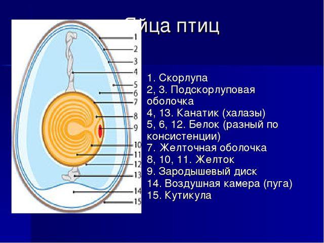 Яйца птиц 1. Скорлупа 2, 3. Подскорлуповая оболочка 4, 13. Канатик (халазы) 5...