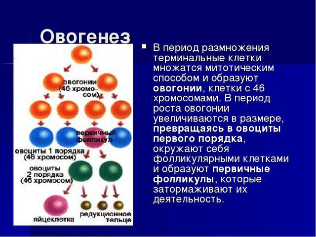 Овогенез В период размножения терминальные клетки множатся митотическим спосо...